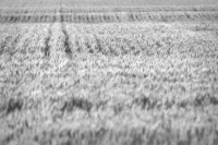 Wheat - BW