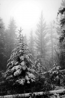 Christmas Tree Hunt in the Fog