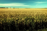 Alberta Wheat Field