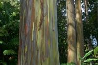 Gum Tree - Maui Botanical Gardens