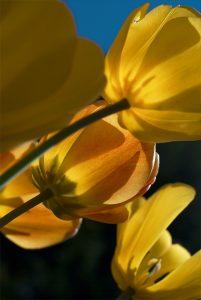 Yellow Tulips #2