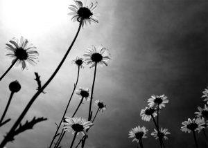 Wild Daisies - BW