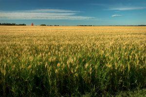 Alberta Wheat Field